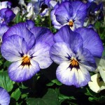 pansy_blue_066